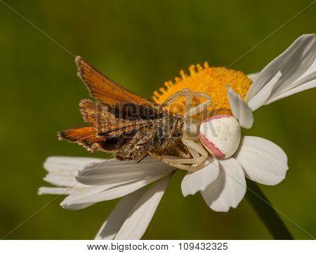 Crab Spider Eating Skipper