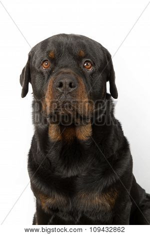 Dog, Rottweiler In Front Of A White Background
