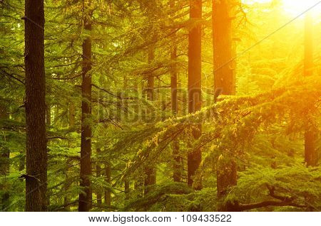 Beautiful sunset in the woods during autumn, pine forest at Shimla, the capital city of Himachal Pradesh, India.