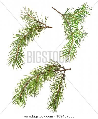 three green pine branches isolated on white background