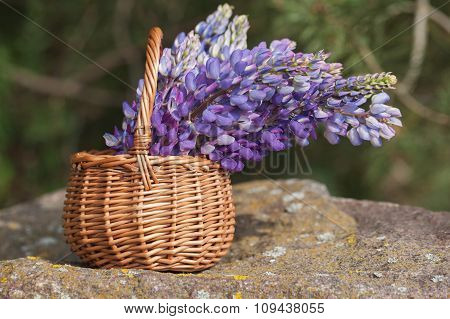 Beautiful Violet Lupine Bouquet In Basket On The Open Air