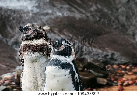 Two humboldt penguins drying themselves after a swim