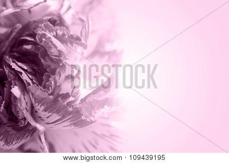 Sweet Color Petal Exotic Rose On Violet Romantic Gradient Background