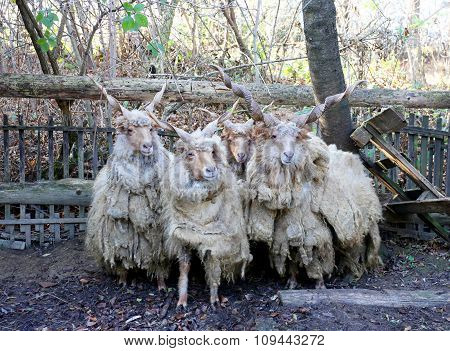 Group Of Authentic Hungarian Sheep Breed Name Is Racka