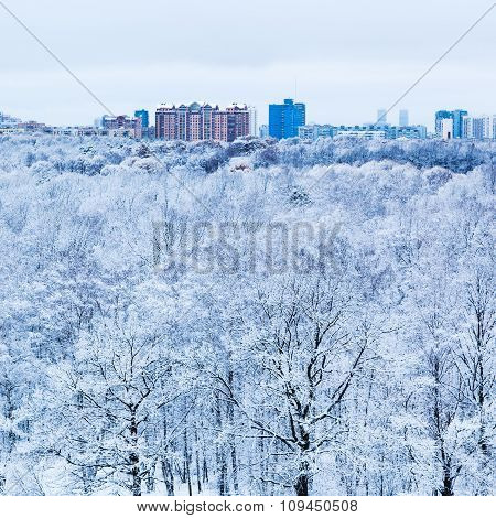 Snow Oak Trees In Woods And City In Winter Morning