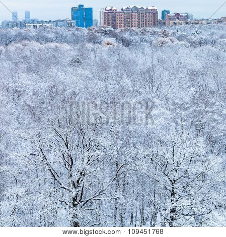 Snow Trees In Forest And City In Winter Morning