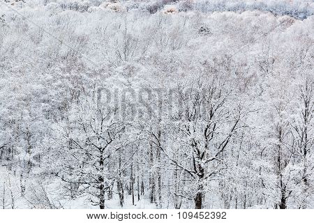 Trees In Snow Forest In Cold Winter Day