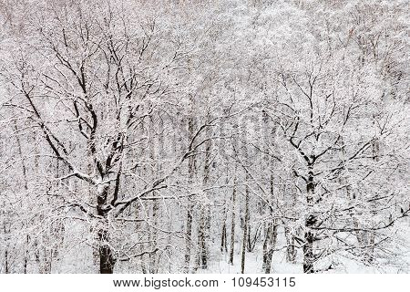 Black Oak Trees In White Snow Woods In Winter