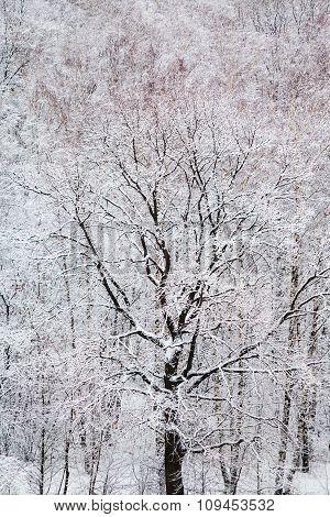 Black Oak Tree In White Snow Forest In Winter