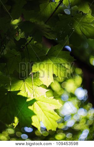 Green Maple Leves Backlit By The Sun