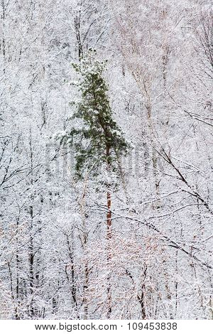Green Pine Tree In White Snow Woods In Winter
