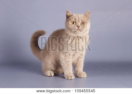 British lilac kitten, Scottish straight.