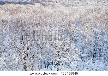 Snow Oak Trees Illuminated By Sun In Forest