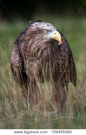 White Tailed Sea Eagle (Haliaeetus Albicilla)
