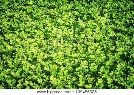 Field Of Green Leaf Mustard High Contrasted With Vignetting Effect Background