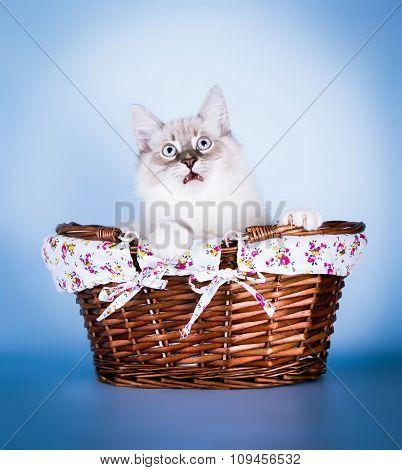 Neva masquerade kitten . surprised face on blue background