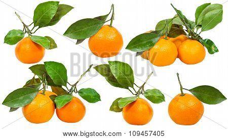 Set Of Twigs With Fresh Ripe Abkhazian Mandarins