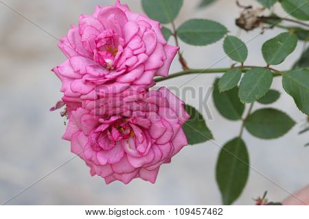 Pink rose in garden.
