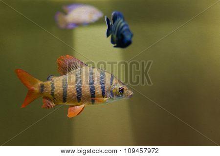 Distichodus lusosso fish. Longsnout distichodus. Freshwater tropical creature, striped yellow fish w