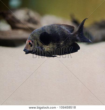 Dark striped tropical fish. Vintage paper background, soft focus
