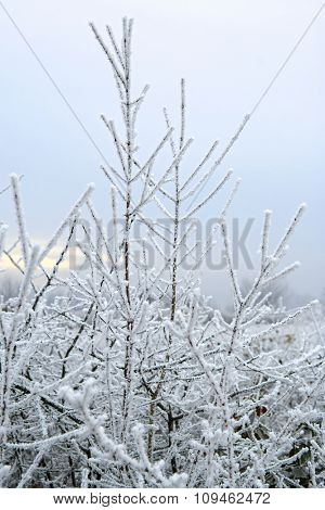 winter scene - frost on branches