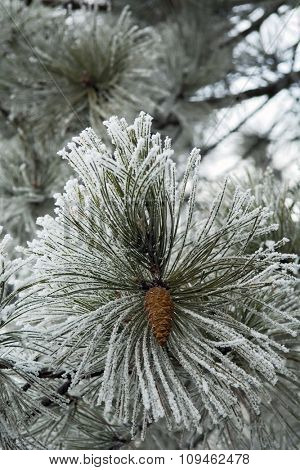 winter scene - frost on pine tree