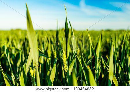 Green Cornfield In Fehmarn, Germany