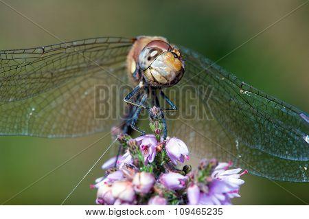 Common Darter Dragonfly (Sympetrum Striolatum)