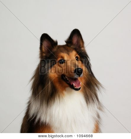 Close Up Of A Pretty Sheltie Dog Face