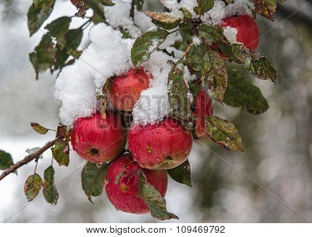 Red Apples Under The Snow In The Garden