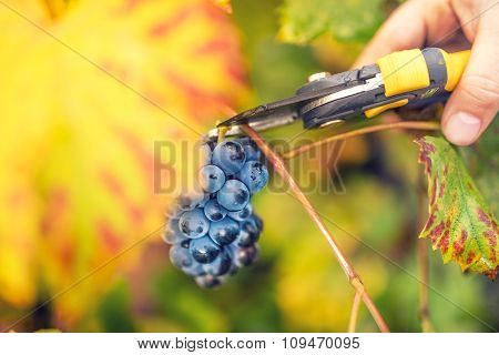 Farmer Collecting Ripe Grapes On Autumn Harvest From Valley Winery