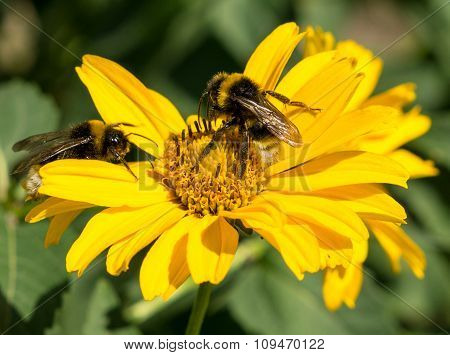 Two Bees Collects Pollen From Yellow Flowers Perennial Aster In The Garden