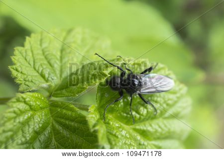 Black Fly On The Grass