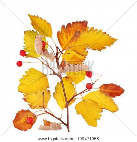 Branch with leaves and berries isolated on white background