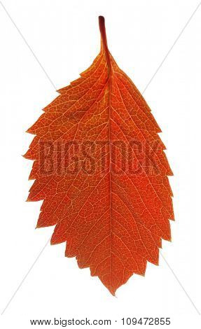 Autumn brown leaf isolated on white
