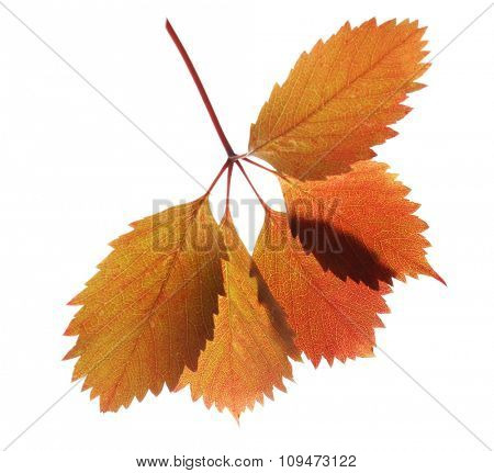 Beautiful autumn leaves isolated on white