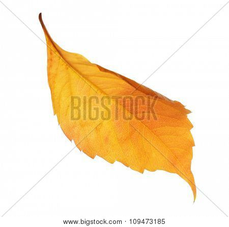 Autumn yellow leaf isolated on white