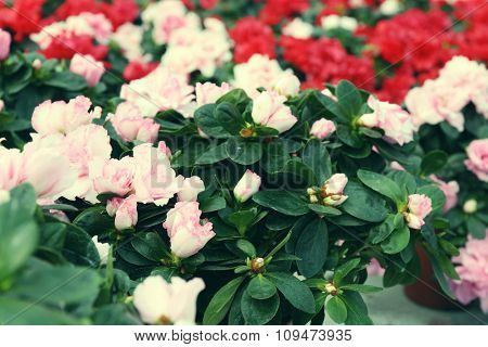 Beautiful rose flowers, close-up, on green background