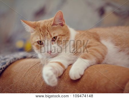 Portrait Of A Red With White Domestic Cat