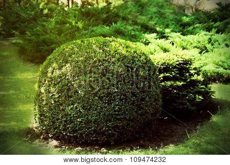 Round bush in the park
