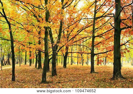 Autumn Park With Oaks And Maples In Yellow Trees