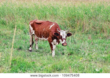 The cow is grazed on a meadow