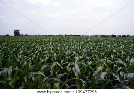 Cornfield in Plainfield