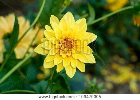Contrast Yellow Flower Dahlia Macro In Garden