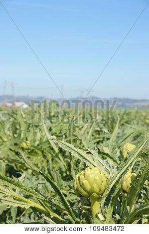 Artichoke field with a heavy industrial facility that has smoke stacks creating an environmental conflict out of focus in the distance