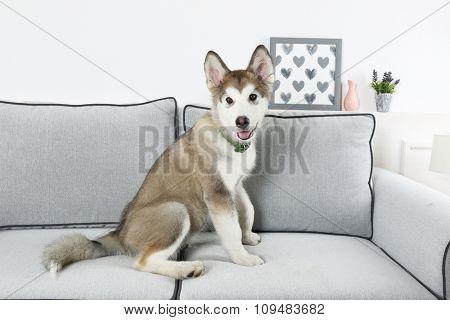 Cute Alaskan Malamute puppy on sofa, close up