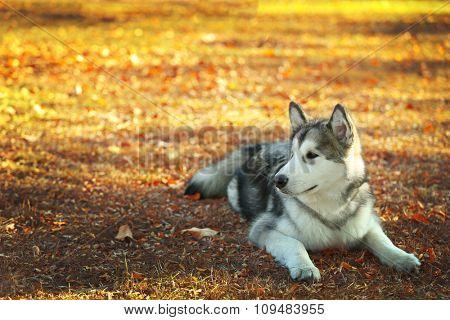 Alaskan Malamute in park