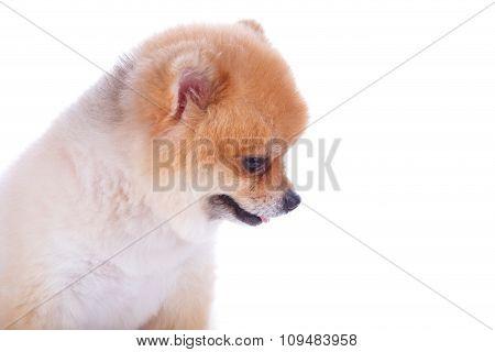 Pomeranian Dog Brown Short Hair