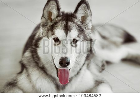 Malamute puppy on light floor background