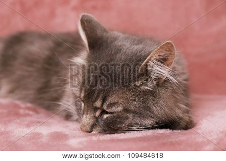 Grey lazy cat sleeping on pink  sofa in the room, close up